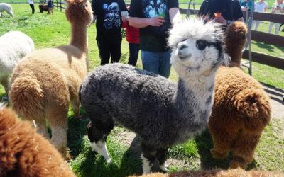Alpakoterapia -Alpaki u Agi